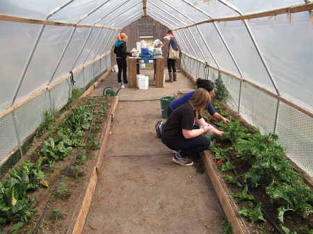 hoophouse first harvest SWA 24mar14_3532
