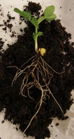 pea plant1_3618