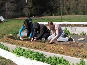 planting peas SWA terrace2_3737