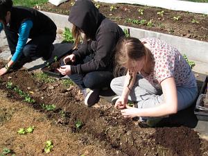 planting peas SWA terrace3_3735
