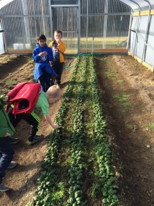 hoophouse spinach 31dec14 swcc