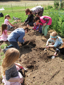 first grade planting flagged potatoes_7410