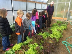 Lots of lettuce in the hoophouse