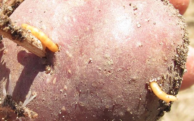 wireworms in potato_7575