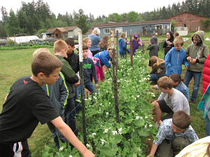 second grade peas growing_2214