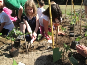 second graders planting scarlet runner beans_2373
