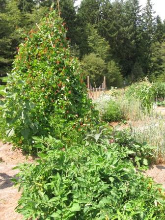 Pizaa garden, bean teepee and taco garden