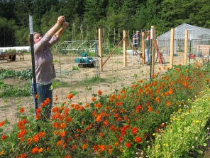 Orange cosmos for dye and pole beans