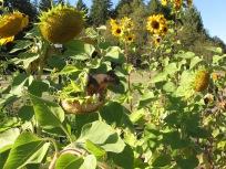 squirrel in sunflower_0556