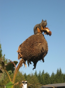 squirrel on top of sunflower closeup_0658
