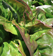 redtipped deer tongue lettuce1_4091