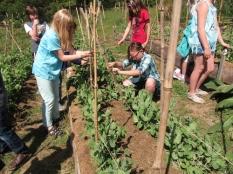 fourth grade trellising peas3_3816