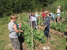 fourth grade trellising peas_3813