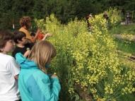 kale flowers examining_3593