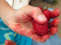 strawberries very juicy_4177