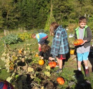 Fourth graders harvesting pumpkins