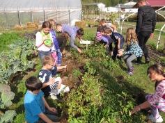 Third graders harvesting potatoes