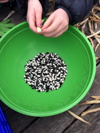 Opening the black and white orca beans.