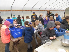 In the greenhouse opening and sorting beans.