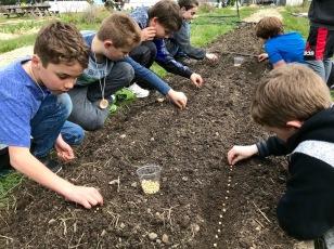 planting peas spring2018