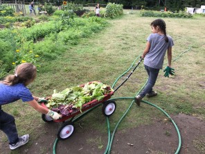 Cleaning up a lettuce bed