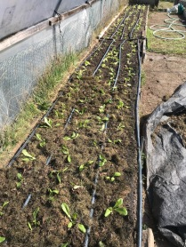 Newly planted lettuce in the hoophouse!
