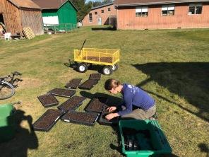 Planting peas in soil blocks