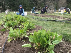 Weeding the sour plant bed