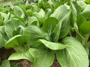 Bok choi ready to harvest for the school lunches