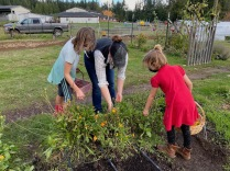 Harvesting calendula to make salve